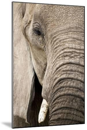 African Elephant--Mounted Photographic Print