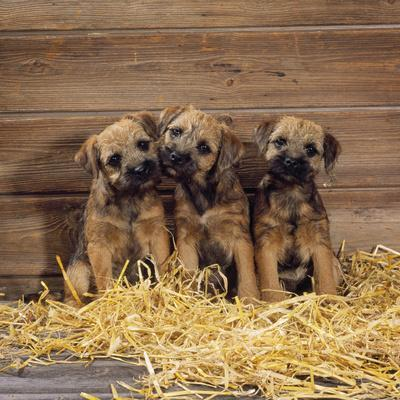 Border Terrier Dog Puppies in Barn--Framed Photographic Print