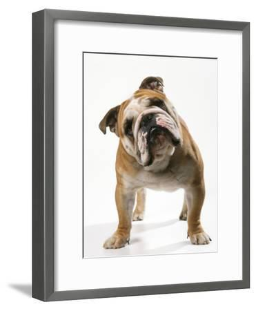 Bulldog--Framed Photographic Print