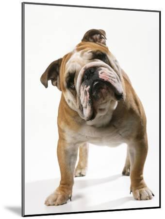 Bulldog--Mounted Photographic Print