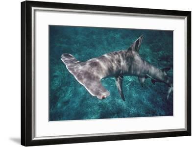 Great Hammerhead Shark--Framed Photographic Print