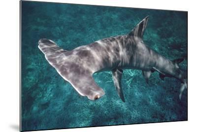 Great Hammerhead Shark--Mounted Photographic Print