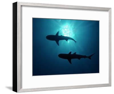 Grey Reef Sharks Grey Reef Sharks--Framed Photographic Print