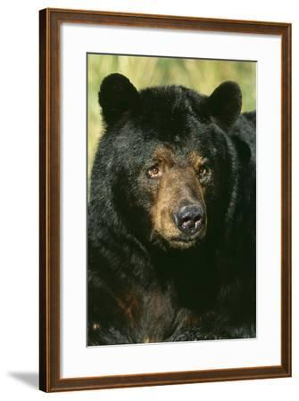 North American Black Bear Adult Male, Close-Up--Framed Photographic Print