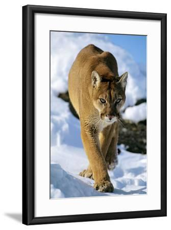 Puma in Winter--Framed Photographic Print