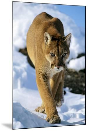 Puma in Winter--Mounted Photographic Print