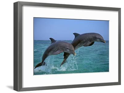 Two Bottlenosed Dolphins Jumping--Framed Photographic Print