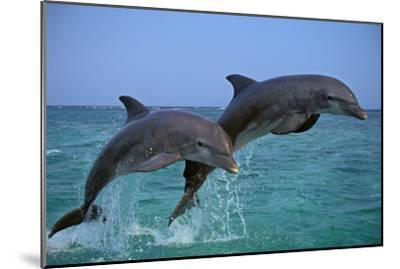 Two Bottlenosed Dolphins Jumping--Mounted Photographic Print