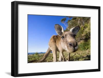 Eastern Grey Kangaroo Super Wide Angle Shot Of--Framed Photographic Print