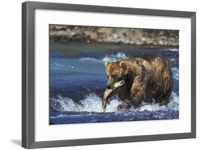 Coastal Grizzly Bear with Salmon in Mouth--Framed Photographic Print