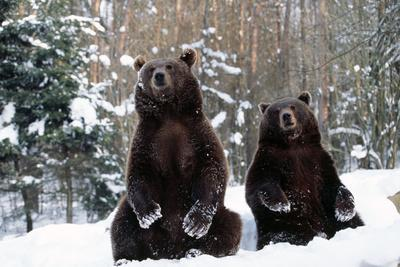 European Brown Bear Two Sitting in Snow--Photographic Print