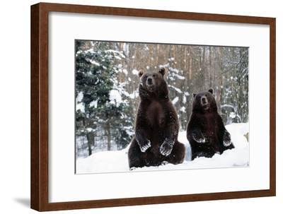 European Brown Bear Two Sitting in Snow--Framed Photographic Print