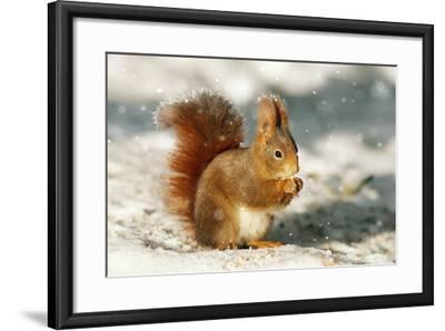 Red Squirrel--Framed Photographic Print