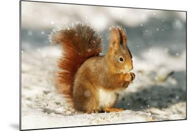 Red Squirrel--Mounted Photographic Print