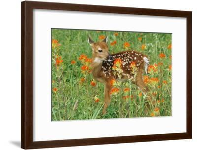 White-Tail Deer Fawn in Orange Paintbrush Wild--Framed Photographic Print