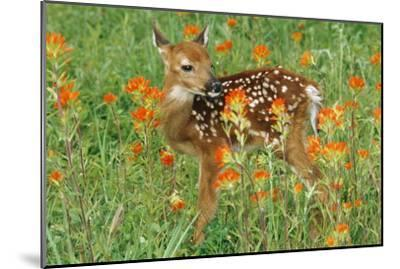 White-Tail Deer Fawn in Orange Paintbrush Wild--Mounted Photographic Print