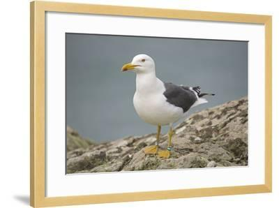 Great Black-Backed Gull--Framed Photographic Print