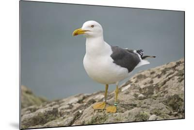 Great Black-Backed Gull--Mounted Photographic Print