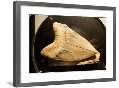 Fossil Tooth of Megalodon or Megatooth Shark Oceanopolis--Framed Photographic Print