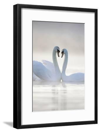 Mute Swans Pair in Courtship Behaviour Back-Lit--Framed Photographic Print