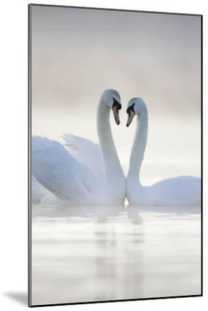 Mute Swans Pair in Courtship Behaviour Back-Lit--Mounted Photographic Print