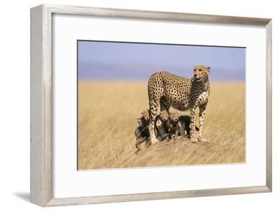 Cheetah with Four 6 Week-Old Cubs--Framed Photographic Print