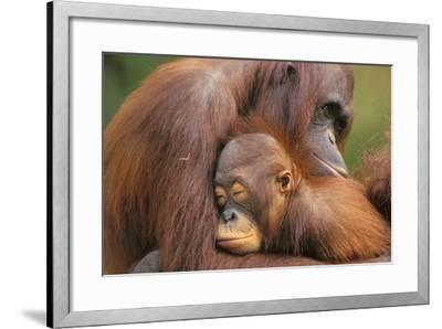 Orangutans--Framed Photographic Print