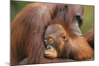 Orangutans--Mounted Photographic Print