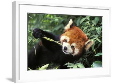 Red Cat-Bear Eating Bamboo Shoot--Framed Photographic Print