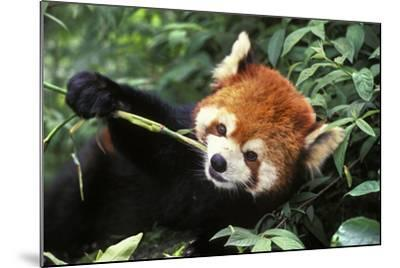 Red Cat-Bear Eating Bamboo Shoot--Mounted Photographic Print