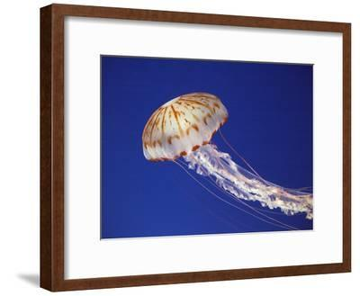 Purple Striped Jellyfish--Framed Photographic Print