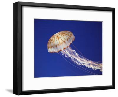 Purple Striped Jellyfish--Framed Photographic Print