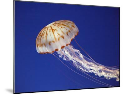 Purple Striped Jellyfish--Mounted Photographic Print
