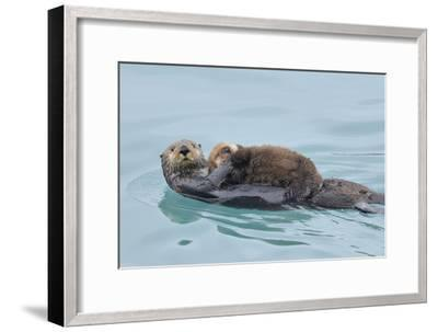 Alaskan Northern Sea Otter Mother Carrying--Framed Photographic Print