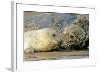 Grey Seal Mother and Newborn Pup Taking Stock--Framed Photographic Print