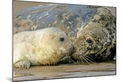 Grey Seal Mother and Newborn Pup Taking Stock--Mounted Photographic Print