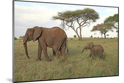 African Elephant Cow and Calf--Mounted Photographic Print