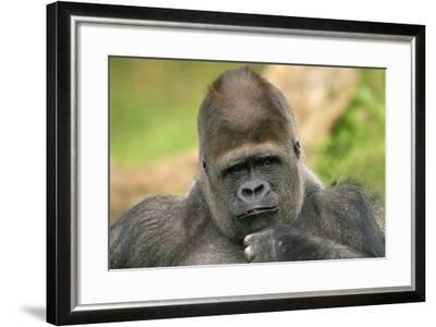 Lowland Gorilla Close-Up of Head--Framed Photographic Print