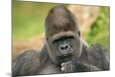 Lowland Gorilla Close-Up of Head--Mounted Photographic Print