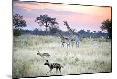 African Wild Dog Passing Giraffe Mother and Calf--Mounted Photographic Print