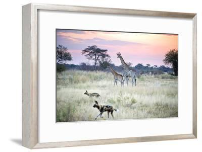 African Wild Dog Passing Giraffe Mother and Calf--Framed Photographic Print