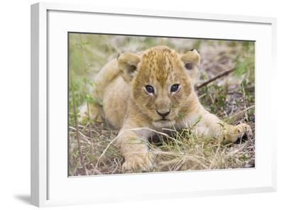 Lion 3-4 Week Old Cub--Framed Photographic Print