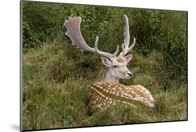 Fallow Deer Male in Velvet Resting in Undergrowth--Mounted Photographic Print