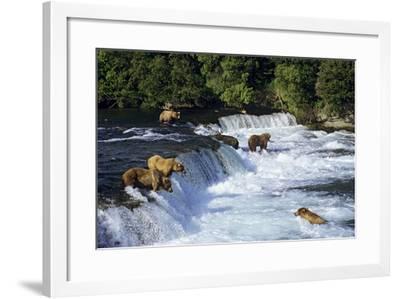 Coastal Grizzlies or Alaskan Brown Bears Fishing--Framed Photographic Print