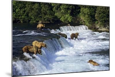 Coastal Grizzlies or Alaskan Brown Bears Fishing--Mounted Photographic Print