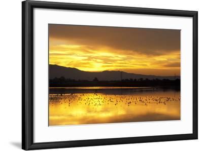 Shorebirds on Salt Pond at Sunrise--Framed Photographic Print