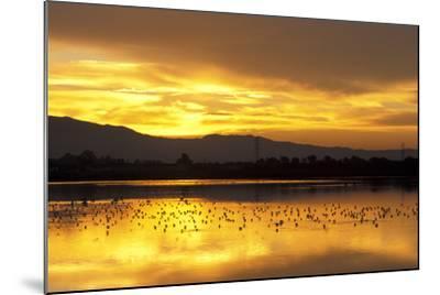 Shorebirds on Salt Pond at Sunrise--Mounted Photographic Print