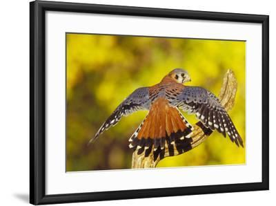 American Kestrel Displaying, Wings Oustretched--Framed Photographic Print