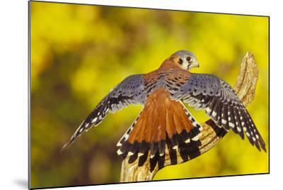 American Kestrel Displaying, Wings Oustretched--Mounted Photographic Print