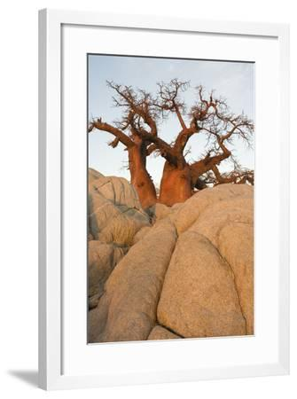 Boab in the Early Morning at the Isolated--Framed Photographic Print